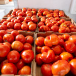 tomatoes ready to sell