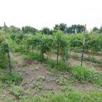 St Louis missouri tomato farm