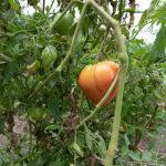 tomato on the vine Missouri