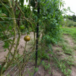 Missouri grown tomatoes