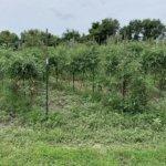 tomato fields