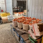 Fresh picked tomatoes for sale