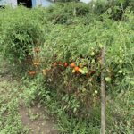 tomato farmer missouri
